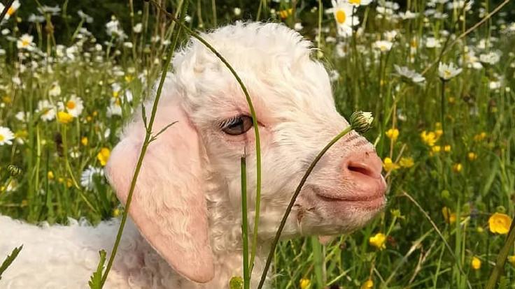 chevre mohair atelier fibre laine