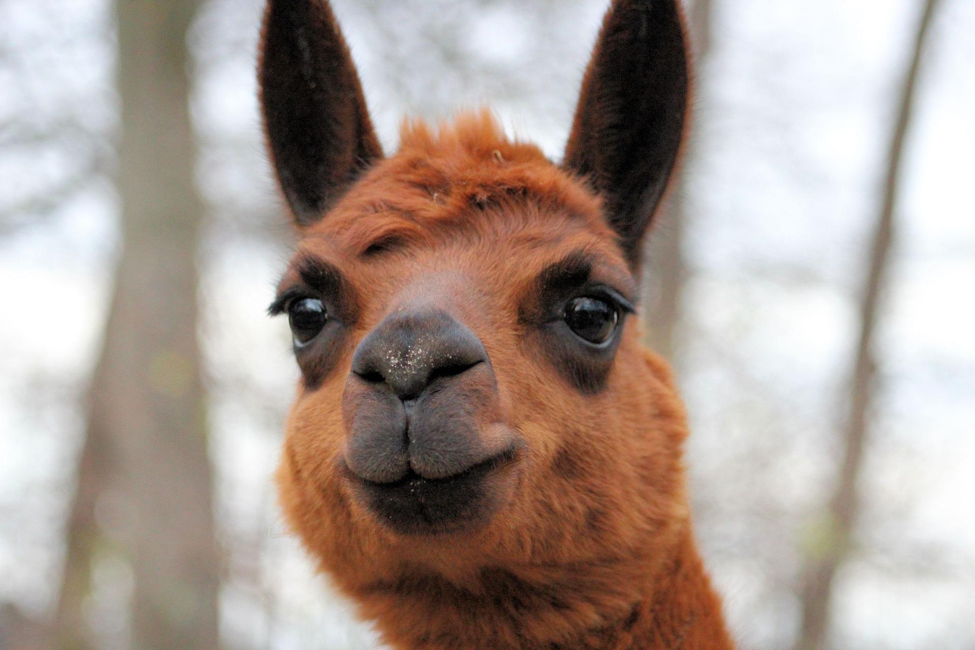 alpaca alpaga tricot